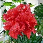 Растение Китайская Роза: Фен-шуй