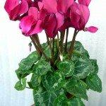 Растение Персидский цикламен: Фен-шуй