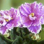 Растение Узумбарские фиалки: Фен-шуй
