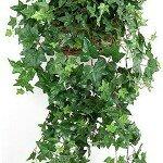 Растение Плющ: Фен-шуй