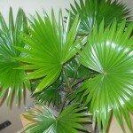 Растение Перистая пальма: Фен-шуй
