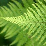 Растение Традескания: Папоротник